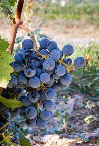 Vignoble-grappe